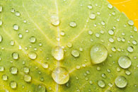 Dew Drops on Aspen Leaf